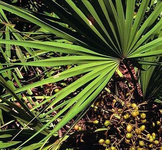 definición de Saw Palmetto